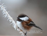 Steider Studios: Winter Chickadee